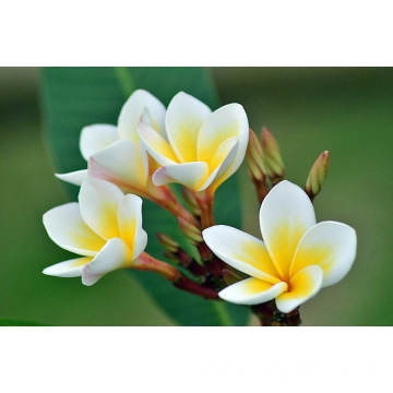 Frangipani Essential Oil 50ml